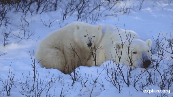 Watch this polar bear GIF by Explore.org (@exploreorg) on Gfycat. Discover more related GIFs on Gfycat