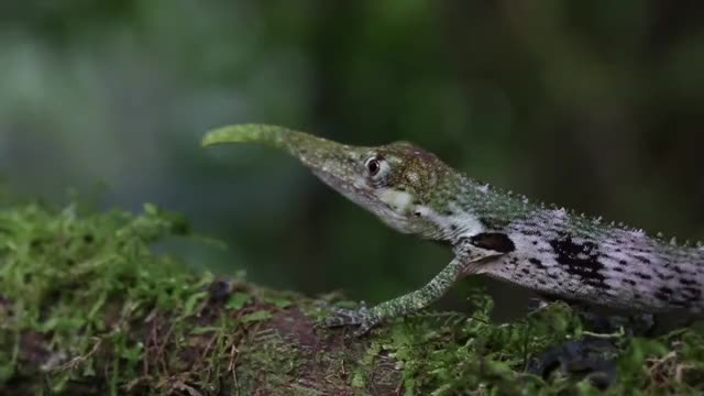 Watch and share Anolis Proboscis GIFs and Anole GIFs by likkaon on Gfycat