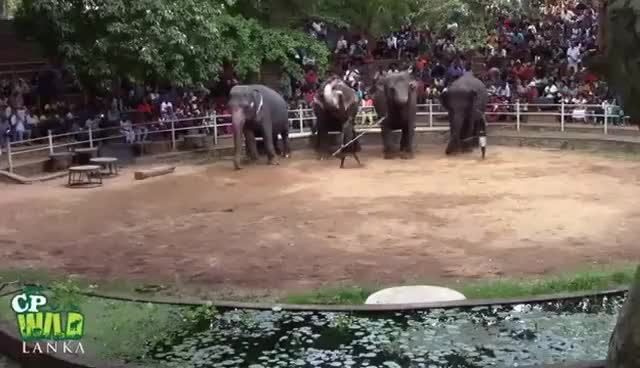 Watch Elephants Dance At Dehiwala National Zoo (Sri Lanka) GIF on Gfycat. Discover more related GIFs on Gfycat