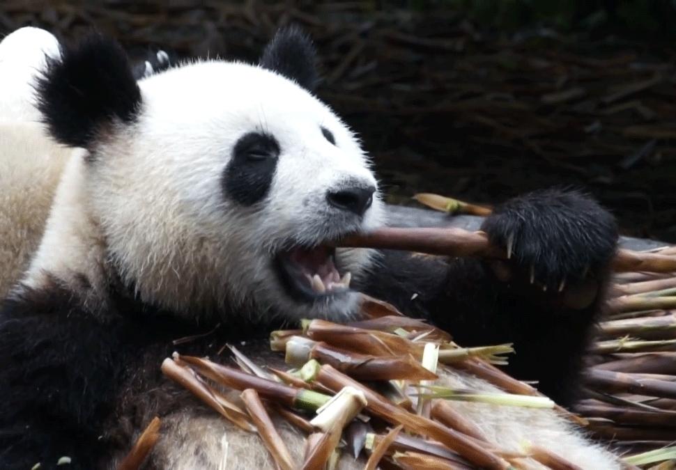 4kUltraHD, NatureGifs, Panda eating some bamboo (reddit) GIFs