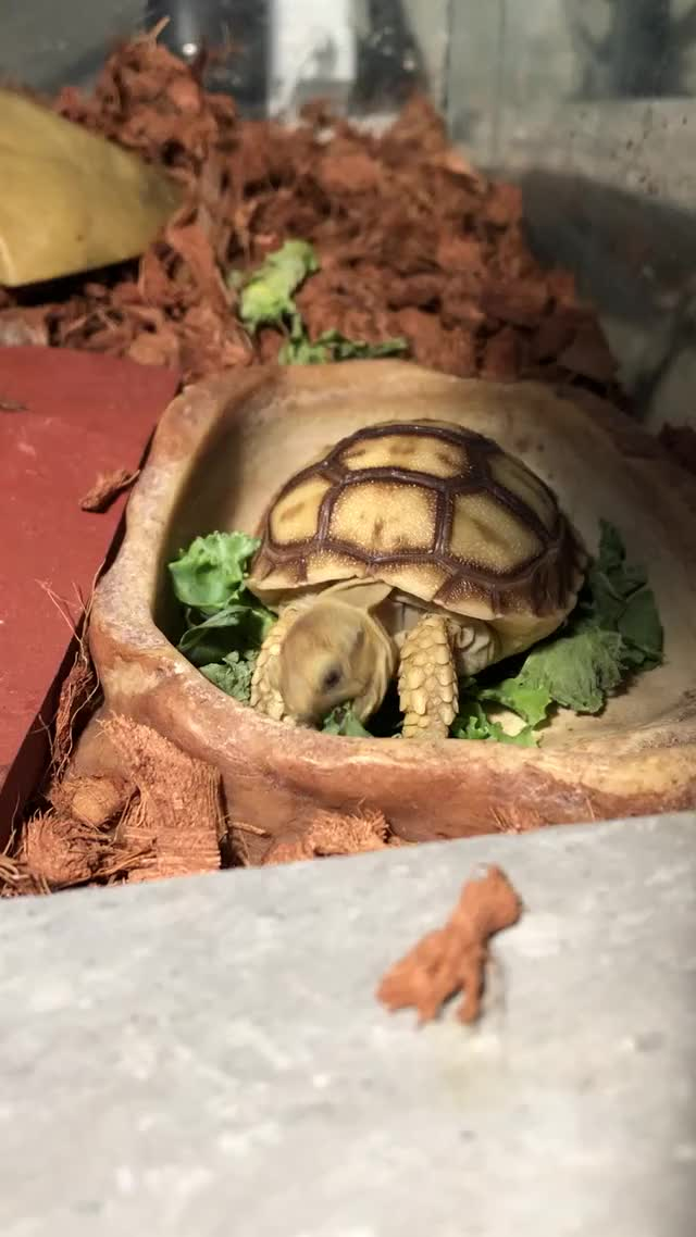 Watch and share Arya The Sulcata Eating Her Little Salad GIFs by Nomorefoxgiven on Gfycat