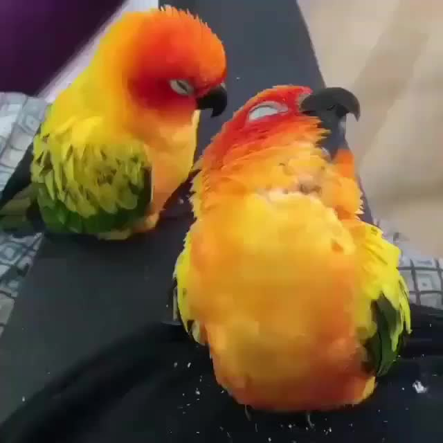 Watch and share Sleepy Birb Topples Into Their Friend GIFs by tothetenthpower on Gfycat
