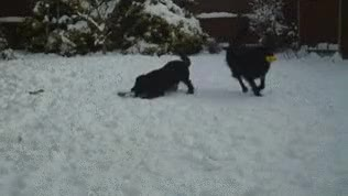 Watch cocker spaniel spaniel gif GIF on Gfycat. Discover more related GIFs on Gfycat