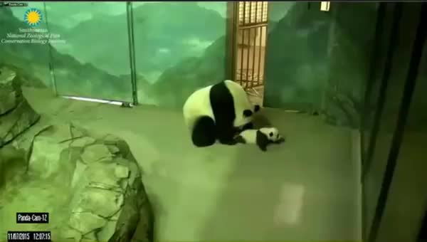 Watch and share Mei Xiang GIFs and Bei Bei GIFs by Socks On An Octopus on Gfycat