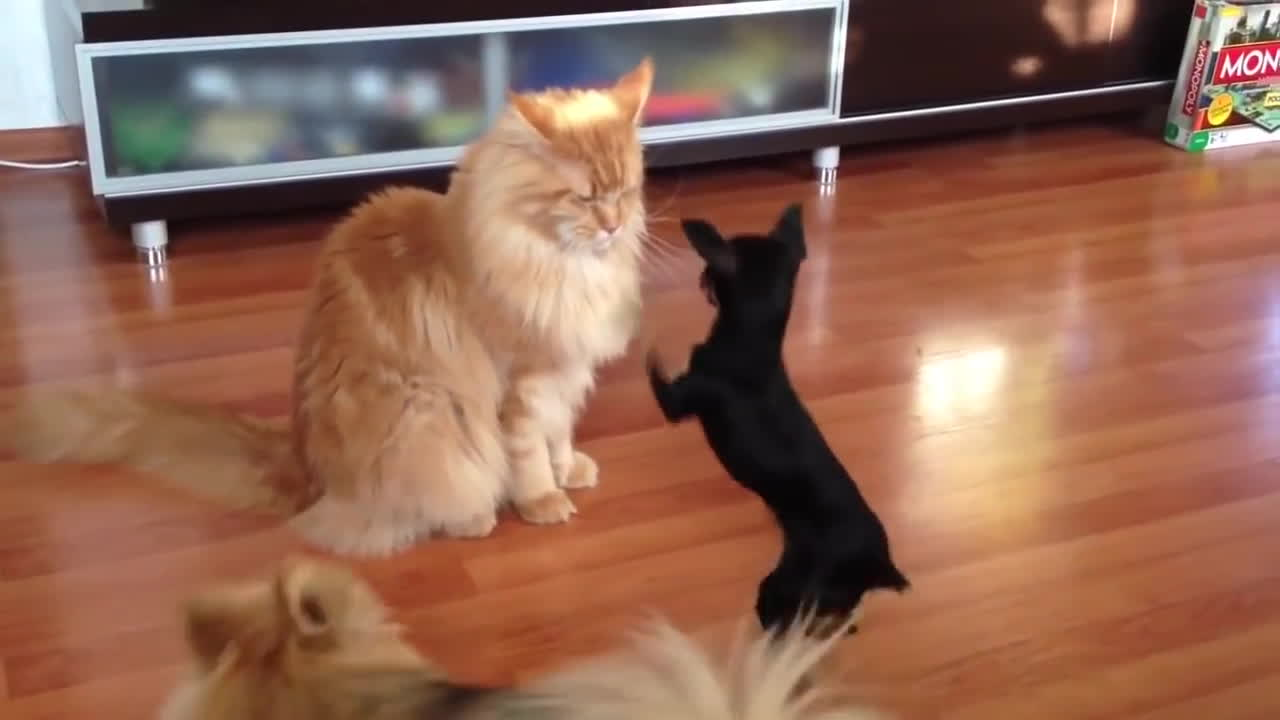 maine coon cats, maine coon cats for sale, maine coon kittens, Dog angry Maine Coon GIFs