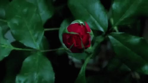 Watch and share Red Rose GIFs on Gfycat