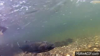 Salmon Swimming Upstream GIFs