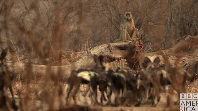 Watch this animal GIF by BBC America (@bbcamerica) on Gfycat. Discover more animal, animals, bbc america, bbc america dynasties, bbc america: dynasties, dinner, dynasties, eating, food, hungry, painted wolf, painted wolves, wolf, wolves GIFs on Gfycat