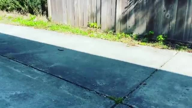 Watch and share Chicken Trusts Her Human Friend Enough To Give Skateboarding A Try GIFs by lnfinity on Gfycat