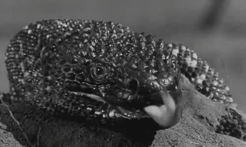 Watch and share Rhett Hammersmith GIFs and Gila Monster GIFs on Gfycat