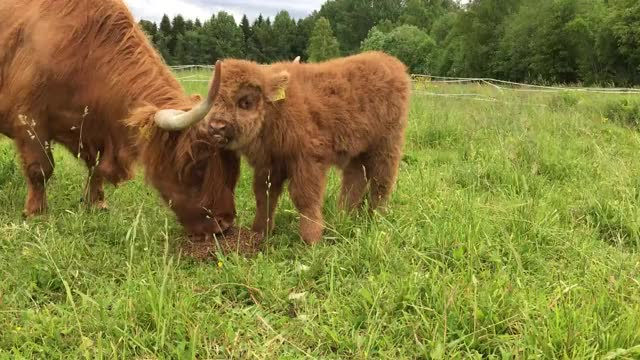 Watch and share Highland GIFs and Scottish GIFs by Danno on Gfycat