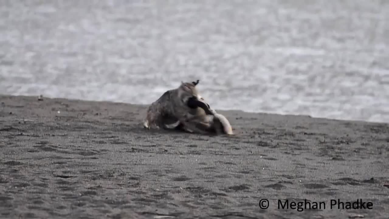 Bobcat finishing off a Canada Goose GIFs