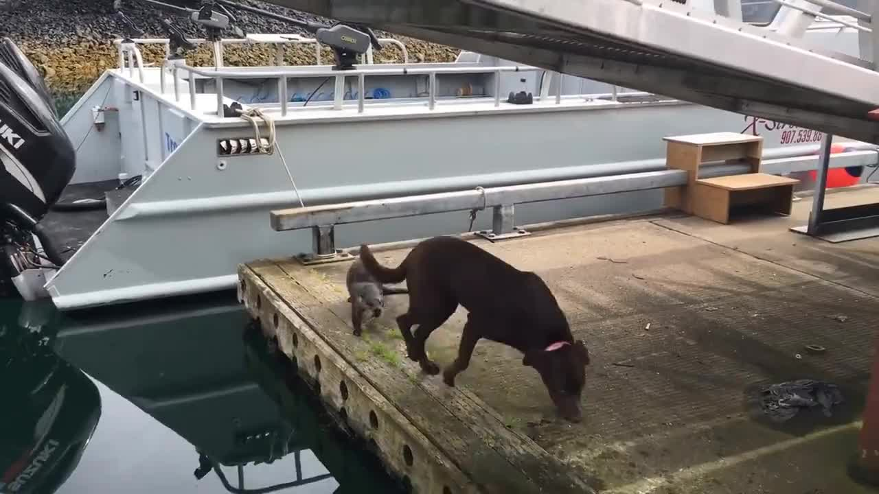 Dog, otter, Otters playing with Labs GIFs