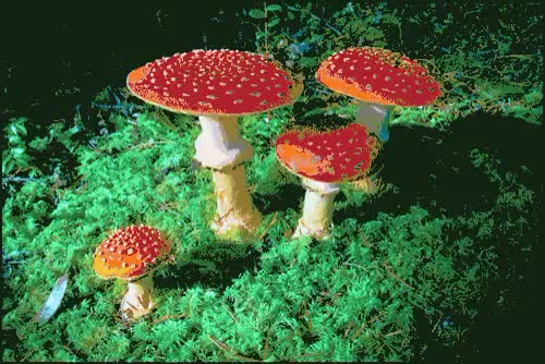 Watch and share Amanita Muscaria GIFs and Psychedelic Gif GIFs on Gfycat