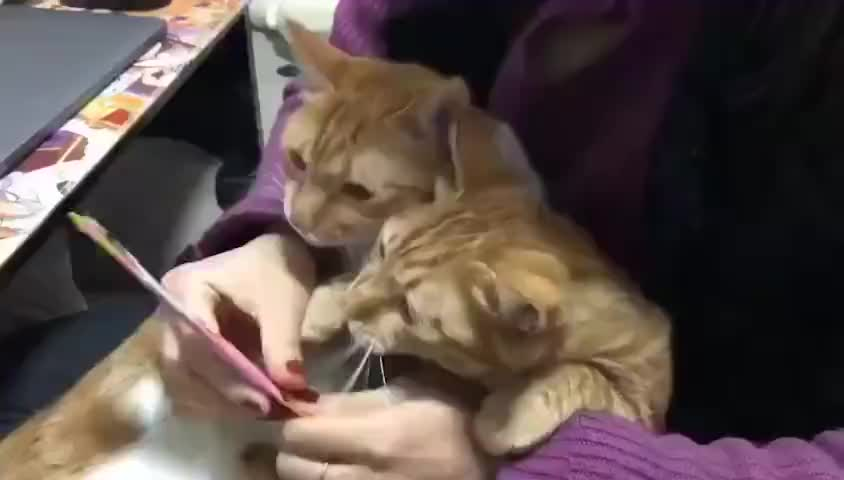 cat, cats, funny, Greedy kitty wants it all for himself GIFs