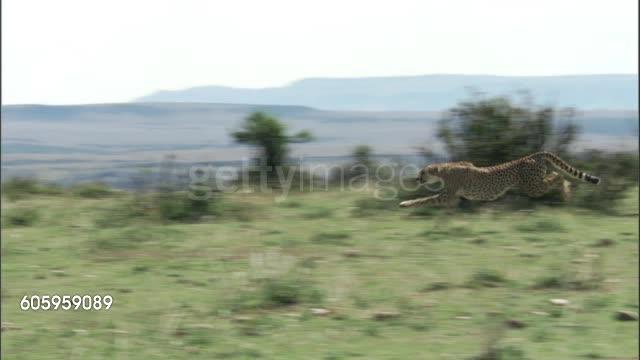 Gazelle fails to make a tight turn GIFs