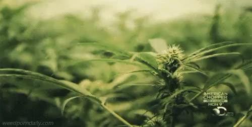 Watch and share Marijuana Gif GIFs and Smoking Weed GIFs on Gfycat