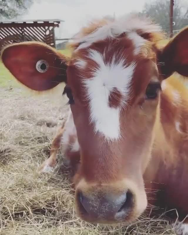 Watch and share Brushy Brushy GIFs and Cow Brush GIFs by lnfinity on Gfycat