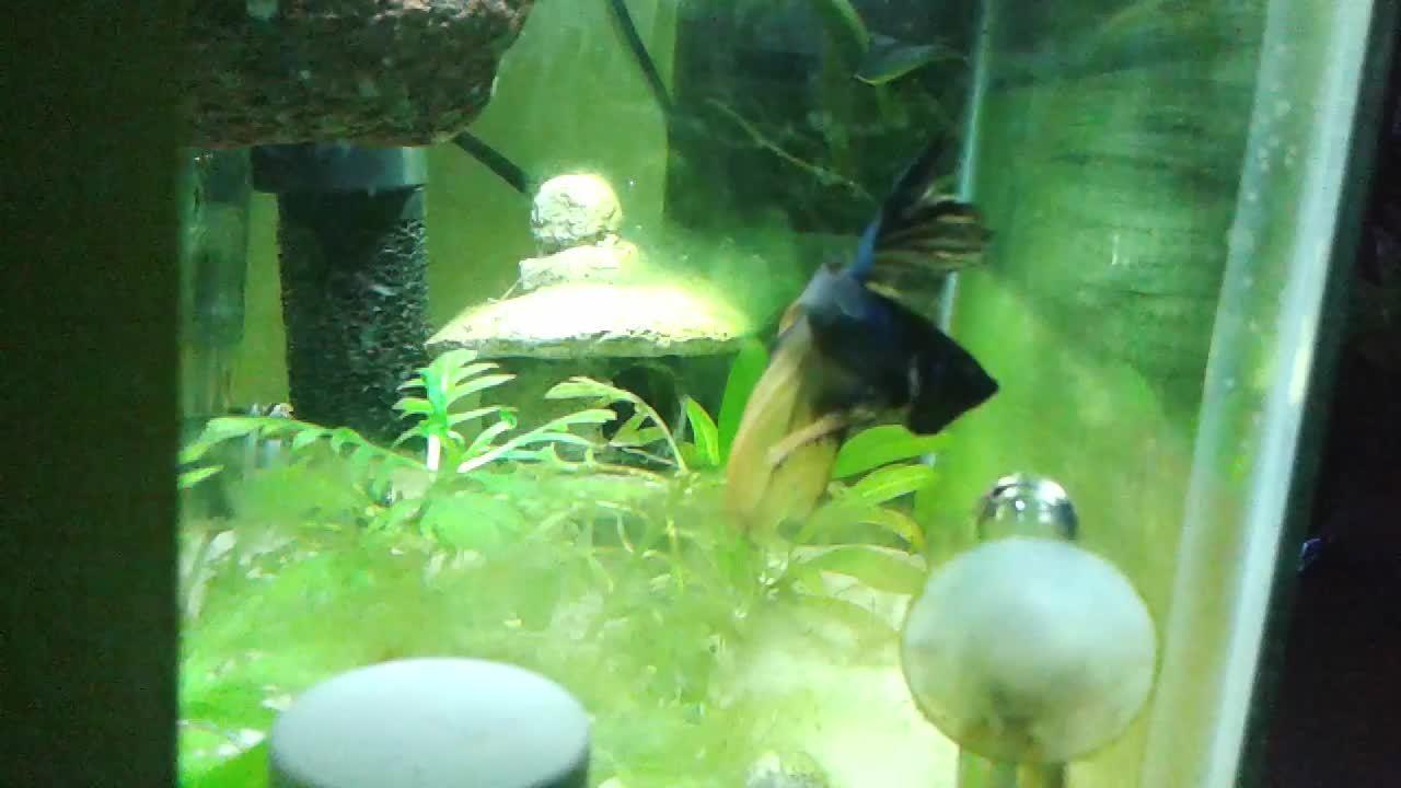 aquariums, bettafish, Angry Merlin GIFs