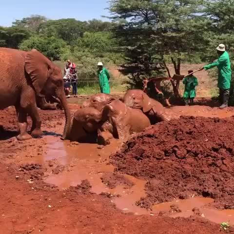 africa, babyelephants, davidsheldrickelephantorphanage, elephants, kenya, lisa-marie, nairobi, sheldrickwildlifetrust, travelgram, wildlife, worldenvironmentday, Having the best day ever at the mud hole GIFs