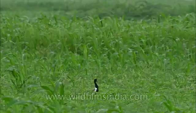 Watch and share Dance Of Courtship: Lesser Florican GIFs on Gfycat