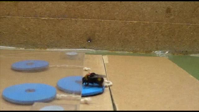 Watch Even bees can be trained to complete tasks GIF by Reverser (@reverser) on Gfycat. Discover more reverse GIFs on Gfycat