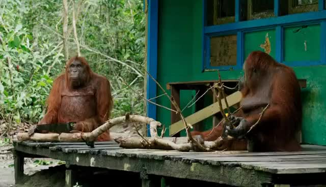 Watch Orangutan Sawing Duel GIF on Gfycat. Discover more related GIFs on Gfycat