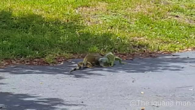 Watch and share Iguana Man GIFs and Vivavideo GIFs by organicredditor on Gfycat
