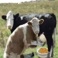 Watch and share Cat Drinking Cows Milk Photo: Got Milk? Gotmilk.gif GIFs on Gfycat