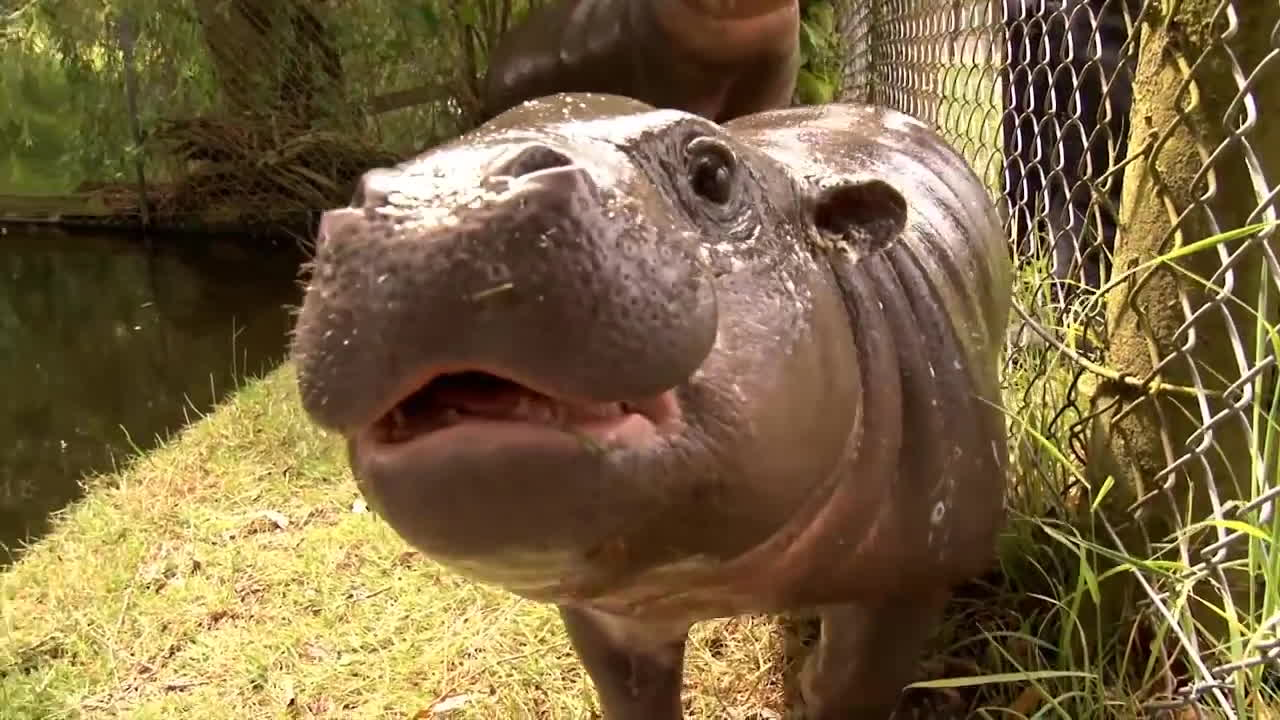 ZSL, animals, baby, conservation, cute, enviornment, funny, future, hippo, kids, outdoors, pygmy, whipnsade, wildlife, zoo, Pygmy GIFs