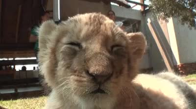 Watch Lion deactivated GIF on Gfycat. Discover more related GIFs on Gfycat