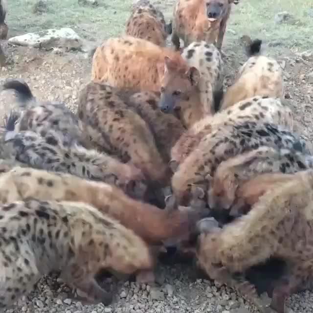 hyena pile GIFs
