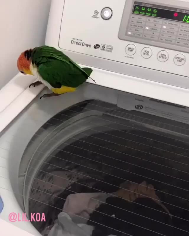 Watch and share This Little Bird Is Absolutely Mesmerized By This Washing Machine. GIFs by uciguy42 on Gfycat