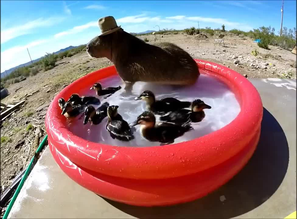 capybara, ducks, Capybara Pool Party! GIFs