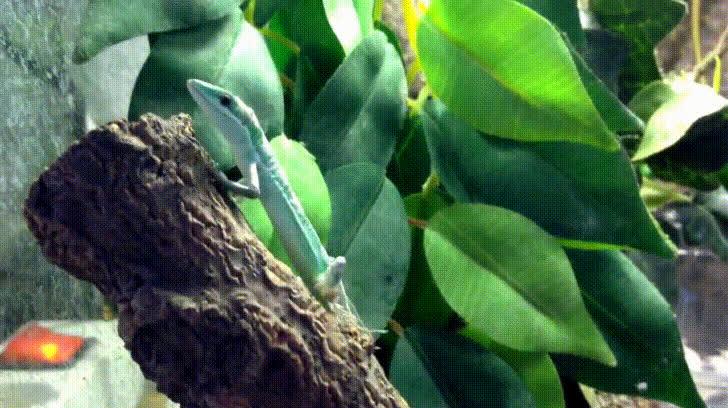 Takydromus smaragdinus GIFs
