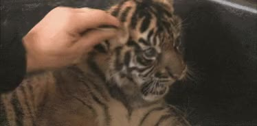 Watch and share Tigers GIFs and Tiger GIFs on Gfycat