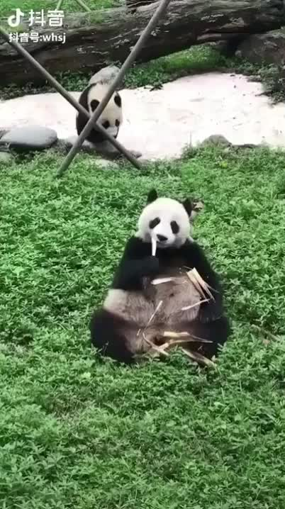 bobsouth, cute, panda, Cub rolls in for the attack GIFs