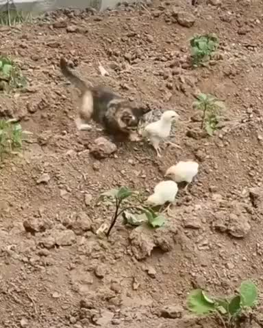 Watch and share That's One Brave Chick GIFs by Gif-vif.com on Gfycat