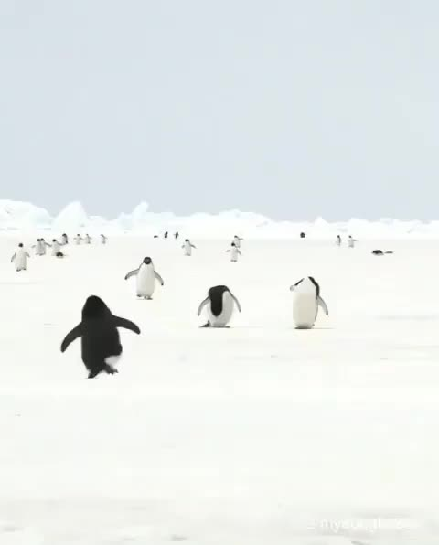Watch and share Antarctica GIFs and Penguins GIFs by PrviAxiom on Gfycat
