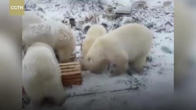 Watch Emergency declared as polar bears 'invade' Russian town GIF on Gfycat. Discover more CCTV, CCTVNews, CGTN, News, WorldNews, bear, change, climate, polar, russia GIFs on Gfycat