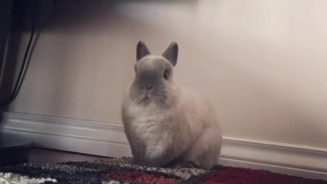 Watch 🐰: when the living room makes strange noises #horrormoviesoundtrack ______________________ Check out these cuties @bunny_and_henry @gertje. GIF on Gfycat. Discover more bunnycheeksn, bunny🐰, cagefree, freeroam, horrormoviesoundtrack, lionhead, petsofinstagram, petstagram, rabbitsofinstagram, rabbit🐇 GIFs on Gfycat