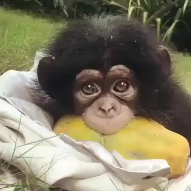 Watch Rescued Orphaned chimp - Imgur GIF on Gfycat. Discover more related GIFs on Gfycat