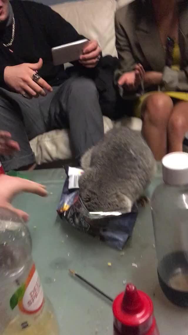 Watch Possum Stealing Snacks || ViralHog GIF by @sinfonia on Gfycat. Discover more Pets & Animals, viralhog GIFs on Gfycat