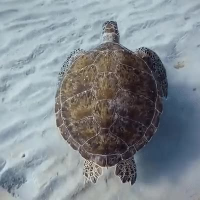 Watch Turtle Swimming GIF on Gfycat. Discover more ocean, tutrle GIFs on Gfycat