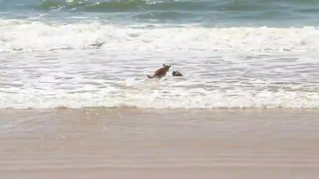 Watch and share Dingo Killing A Swamp Wallaby In The Surf On Fraser Island GIFs by Pardusco on Gfycat