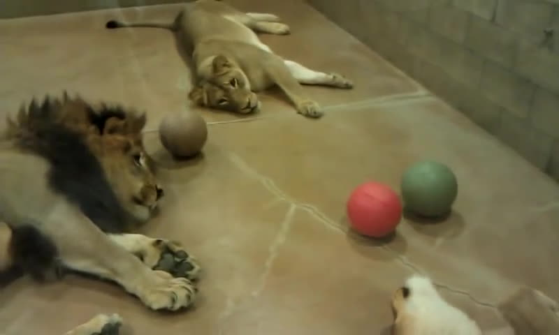 lion, pride, stoppedworking, Lazy lion pride plays ball together GIFs