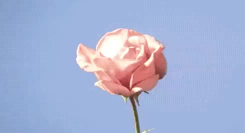 Watch this rose GIF by GIF Queen (@ioanna) on Gfycat. Discover more beautiful, bloom, flower, flowers, nice, pink, rose, roses, sky, smell, spring, sun GIFs on Gfycat