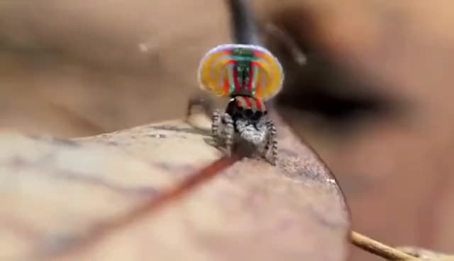 Watch this spider GIF on Gfycat. Discover more Dance, Spider, dance, spider GIFs on Gfycat