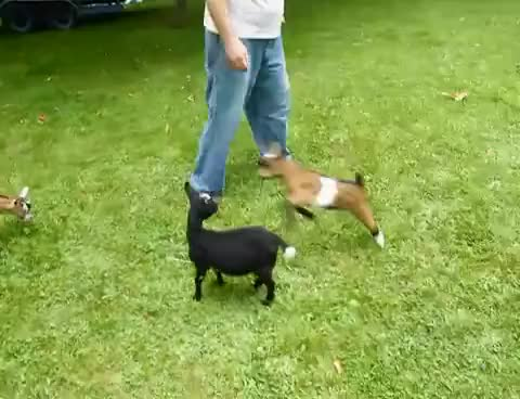 Watch and share Goat GIFs on Gfycat