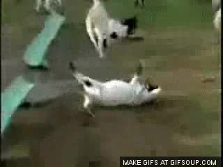 Watch and share Fainting Goat GIFs on Gfycat